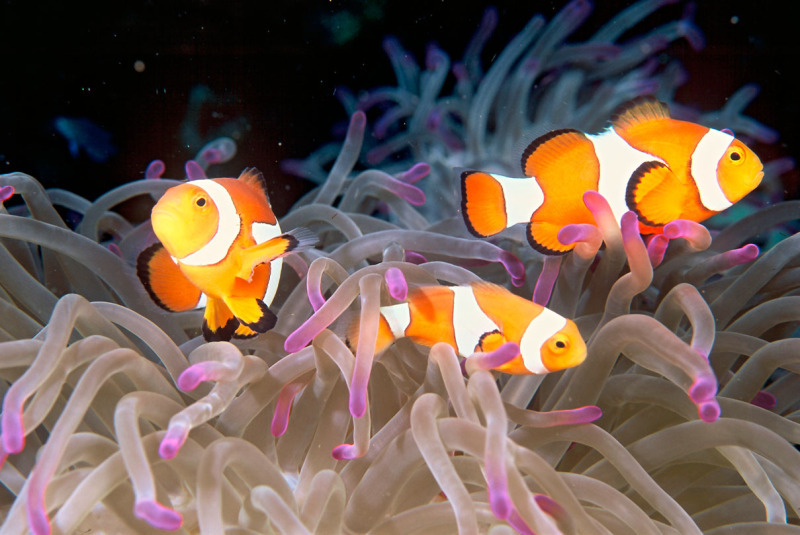 Clown anemonefish (Amphiprion ocellaris) colonize anemones and live symbiotically with its host. Papua New Guinea